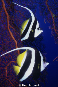 Longfin Bannerfish, right time, right place. They don't r... by Ben Joubert 